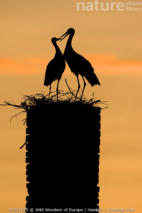 White stork (Ciconia ciconia) pair silhouetted at nest on old chimney, Rusne, Nemunas Regional Park, Lithuania, June 2009  ,  BALTIC,BEHAVIOUR,BIRDS,EUROPE,LITHUANIA,MALE FEMALE PAIR,MARK HAMBLIN,NESTS,RESERVE,SILHOUETTES,STORKS,VERTEBRATES,VERTICAL,WWE  ,  Wild Wonders of Europe / Hamblin