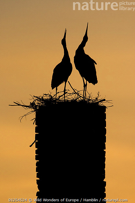 White stork (Ciconia ciconia) pair displaying, silhouetted at nest on old chimney, Rusne, Nemunas Regional Park, Lithuania, June 2009  ,  BALTIC,BEHAVIOUR,BIRDS,DISPLAY,EUROPE,LITHUANIA,MALE FEMALE PAIR,MARK HAMBLIN,NESTS,RESERVE,SILHOUETTES,STORKS,VERTEBRATES,VERTICAL,WWE,Communication  ,  Wild Wonders of Europe / Hamblin