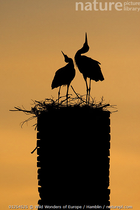 White stork (Ciconia ciconia) pair displaying, silhouetted at nest on old chimney, Rusne, Nemunas Regional Park, Lithuania, June 2009  ,  BALTIC,BEHAVIOUR,BIRDS,DISPLAY,EUROPE,LITHUANIA,MARK HAMBLIN,NESTS,RESERVE,SILHOUETTES,STORKS,VERTEBRATES,VERTICAL,WWE,Communication  ,  Wild Wonders of Europe / Hamblin