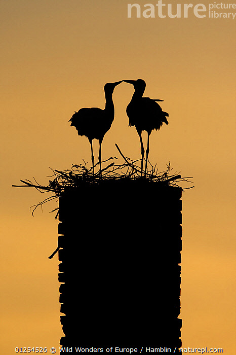 White stork (Ciconia ciconia) pair silhouetted at nest on old chimney, Rusne, Nemunas Regional Park, Lithuania, June 2009  ,  BALTIC,BEHAVIOUR,BIRDS,DISPLAY,EUROPE,LITHUANIA,MALE FEMALE PAIR,MARK HAMBLIN,ORANGE,RESERVE,SILHOUETTES,STORKS,VERTEBRATES,VERTICAL,WWE,Communication  ,  Wild Wonders of Europe / Hamblin