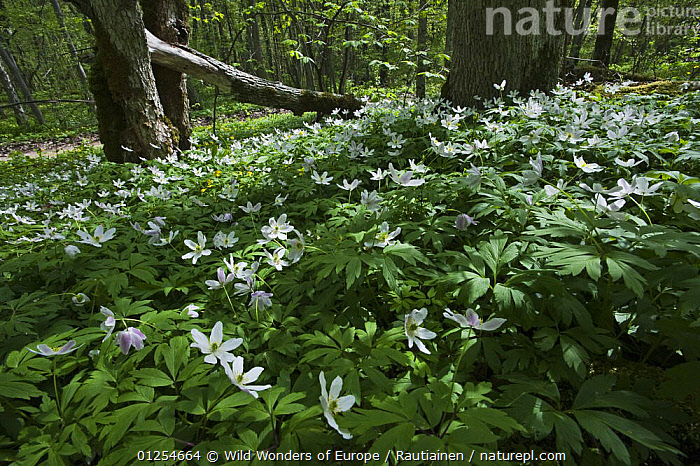 Wood anemones (Anemone nemorosa) in flower, Matsalu National Park, Estonia, May 2009  ,  BALTIC,DICOTYLEDONS,ESTONIA,EUROPE,FLOWERS,LASSI RAUTIAINEN,NP,PLANTS,RANUNCULACEAE,RESERVE,WHITE,WOODLANDS,WWE,National Park  ,  Wild Wonders of Europe / Rautiainen