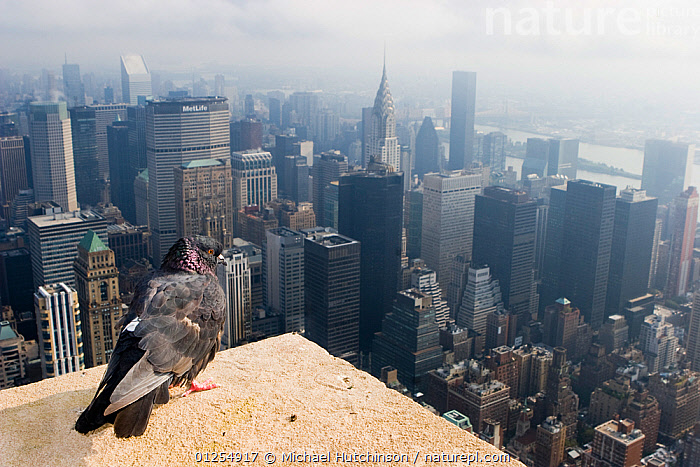Feral pigeon / rock dove (Columba livia) perched on top of Empire State Building with view of Manhattan below, New York City, USA, birds eye view,BUILDINGS,built up,CATALOGUE2,CITIES,cityscape,close up,DOVES,elevated view,Empire State Building,feral,HIGH ANGLE SHOT,LANDSCAPES,manhattan,New York City,Nobody,on top of,one animal,outdoors,Perching,pigeons,skyscraper,smog,surveillance,URBAN,USA,vantage point,North America, Michael Hutchinson