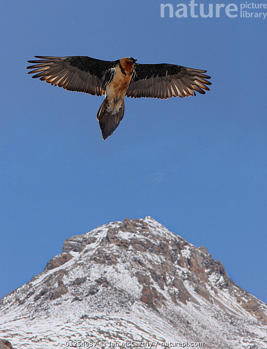 Lammergier {Gypaetus barbatus} soaring over the Himalayas, northern India  ,  animals in the wild,ASIA,BIRDS,BIRDS OF PREY,blue sky,CATALOGUE2,clear sky,CUTOUT,FLYING,himalayas,india,low angle view,low angle shots,majestic,MOUNTAINS,mountaintop,Nobody,Northern India,one animal,outdoors,snowcapped,VERTEBRATES,VERTICAL,VULTURES,WILDLIFE,wings spread,wingspan  ,  Ian McCarthy
