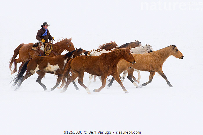Cowboy herding horses on winter day, Flitner ranch, Shell, Wyoming, USA, Model released, February 2008, American culture,CATALOGUE2,cowboys,Flitner ranch,full length,galloping,GROUPS,herding,Horse,horse riding,horseback,HORSES,MAN,medium group of animals,mid adult,on the move,one person,outdoors,PEOPLE,rancher,ranching,RESERVE,riding,side view,SNOW,USA,WINTER,WORKING,wyoming,North America,Equines ,HORSES,PERISSODACTYLA,VERTEBRATES,MAMMALS, Jeff Vanuga