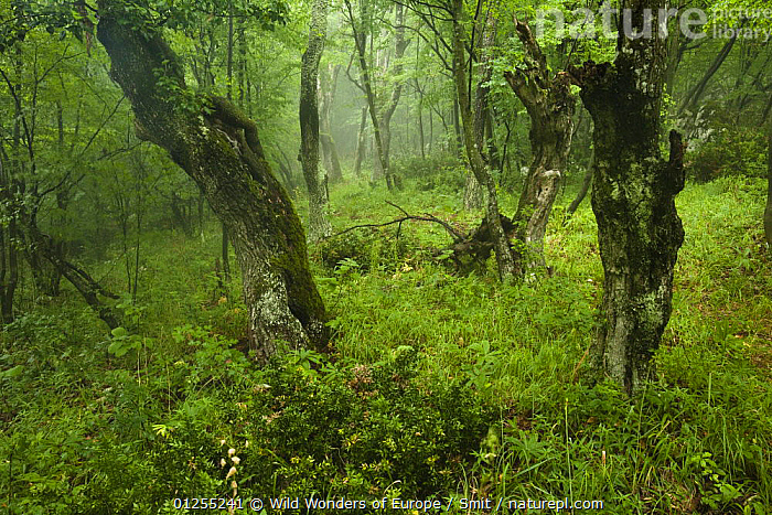 Old growth Lime (Tilia sp) forest, Djerdap National Park, Serbia, June 2009, BALKANS,DANUBE,DERDAP,DICOTYLEDONS,EUROPE,LANDSCAPES,PLANTS,RUBEN SMIT,SERBIA,TILIACEAE,TREES,WOODLANDS,WWE, Wild Wonders of Europe / Smit