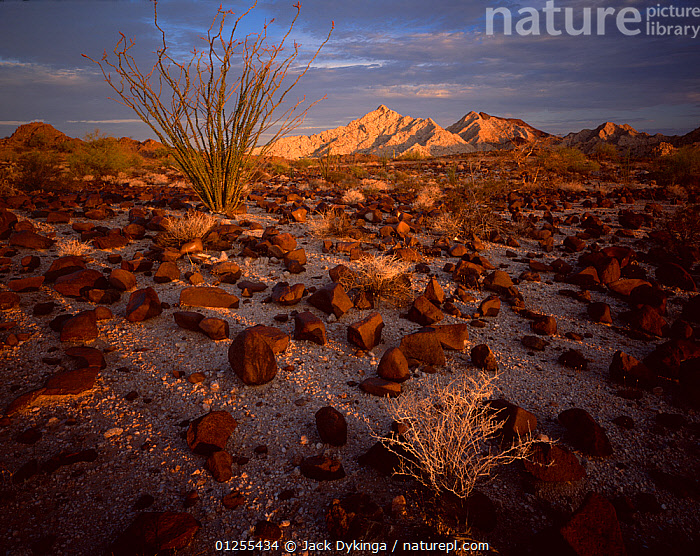 Ocotillo cactus (Fouquieria splendens) in desert landscape strewn with rod lava rock, Cabeza Prieta Mountains in the distance, dawn, Cabeza Prieta National Wildlife Refuge, Arizona, USA, COACHWHIP,DAWN,DESERTS,DICOTYLEDONS,FOUQUIERACEAE,GEOLOGY,JACOB'S STAFF,LANDSCAPES,MOUNTAINS,NORTH AMERICA,PLANTS,RESERVE,ROCKS,SUCCULENT,USA,VINE CACTUS, Jack Dykinga