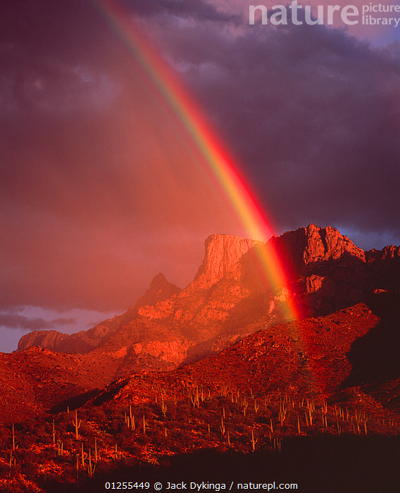 Rainbow at sunset over desert hillside with Saguaro cacti, Table Mountain in the distance, Pusch Ridge Wilderness, Coronado National Forest, Santa Catalina Mountains, Arizona, USA  ,  arizona,ATMOSPHERIC,beauty in nature,CACTACEAE,CACTI,CACTUS,CATALOGUE2,Coronado National Forest,desert,DESERTS,DICOTYLEDONS,DRAMATIC,DUSK,elevated view,Evening,hillside,LANDSCAPES,light,meteorology,MOUNTAINS,National Forest,nature,Nobody,outdoors,PLANTS,Pusch Ridge Wilderness,RAINBOWS,RESERVE,Santa Catalina Mountains,SUNSET,table mountain,USA,VERTICAL,Weather,North America  ,  Jack Dykinga