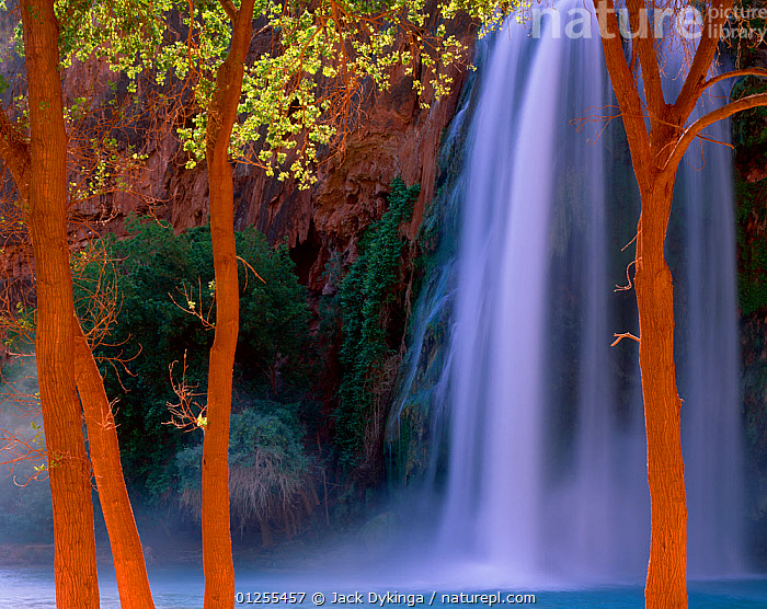 Havasu Falls cascade behind Fremont cottonwood trees (Populus fremontii) glowing in reflected canyon light, Havasupai Reservation, Arizona, USA  ,  arizona,ARTY SHOTS,blurred motion,canyon,catalogue5,day,DICOTYLEDONS,focus on foreground,four objects,Havasu Falls,Havasupai,LANDSCAPES,nature,Nobody,NORTH AMERICA,outdoors,PLANTS,pool,POPLAR,Reservation,RESERVE,RIVERS,SALICACEAE,selective focus,TREES,TRUNKS,USA,WATER,WATERFALLS  ,  Jack Dykinga