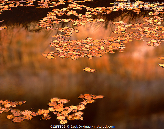 Fallen leaves of Boxelder {Acer Negundo} and Cottonwood {Populus fremontii) floating on pool in autumn, Lower Calf Creek Falls, Grand Staircase - Escalante National Monument, Utah  ,  ARTY SHOTS,AUTUMN,GOLD,GOLDEN,REFLECTIONS,RESERVE,USA,North America  ,  Jack Dykinga
