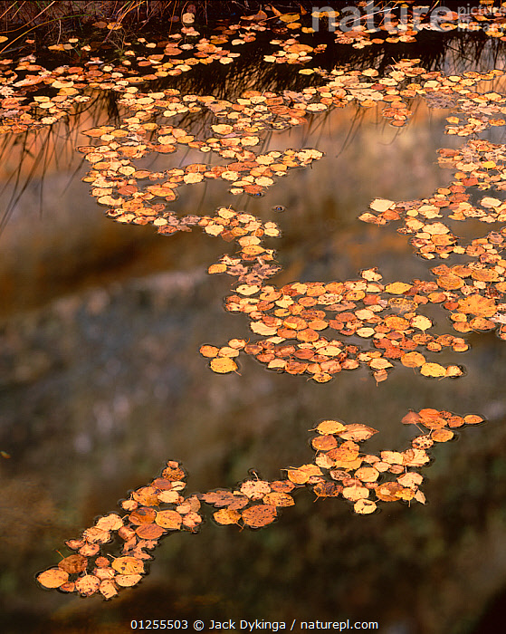 Fallen leaves of Boxelder {Acer Negundo} and Cottonwood {Populus fremontii) floating on pool in autumn, Lower Calf Creek Falls, Grand Staircase - Escalante National Monument, Utah  ,  ARTY SHOTS,AUTUMN,GOLD,GOLDEN,LEAVES,REFLECTIONS,RESERVE,USA,VERTICAL,North America  ,  Jack Dykinga