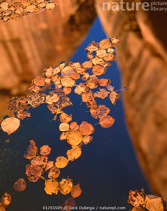 Fallen leaves of Boxelder {Acer Negundo} and Cottonwood {Populus fremontii) floating on pool in autumn with reflections of canyon walls, Lower Calf Creek Falls, Grand Staircase - Escalante National Monument, Utah  ,  AUTUMN,CLIFFS,LEAVES,REFLECTIONS,RESERVE,USA,VERTICAL,WATER,Geology,North America  ,  Jack Dykinga