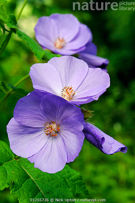 Nature Picture Library Abutilon Flowers Abutilon Suntense