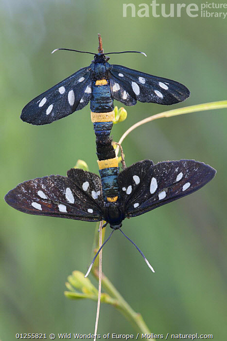 Nine-spotted moth (Amata / Syntomis phegea) pair mating, San Marino, May 2009  ,  BEHAVIOUR, COPULATION, CTENUCHIDAE, CTENUCHINAE, EUROPE, florian-m�llers, INSECTS, INVERTEBRATES, LEPIDOPTERA, MALE-FEMALE-PAIR, NOCTUID-MOTHS, san-marino, SPOTS, VERTICAL, WWE,Reproduction  ,  Wild Wonders of Europe / Möllers