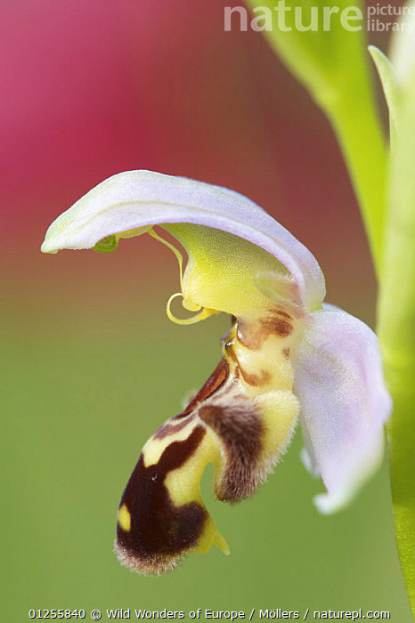 Close-up of Bee orchid (Ophrys apifera) flower, San Marino, May 2009  ,  CLOSE UPS,EUROPE,FLORIAN M�LLERS,FLOWERS,MONOCOTYLEDONS,ORCHIDACEAE,ORCHIDS,PLANTS,SAN MARINO,VERTICAL,WWE  ,  Wild Wonders of Europe / Möllers