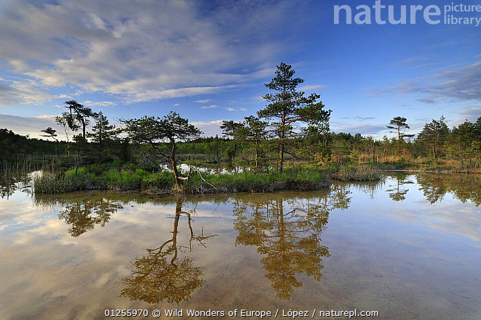 Hydrogen sulphide (H2S) pond with trees reflected in water, Bog forest, Kemeri National Park, Latvia, June 2009, BALTIC,BOGS,DIEGO L�PEZ,EUROPE,LANDSCAPES,LATVIA,NP,PONDS,REFLECTIONS,RESERVE,TREES,WATER,WETLANDS,WWE,National Park,PLANTS, Wild Wonders of Europe / López