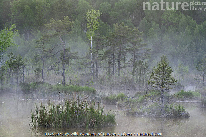 Hydrogen sulphide (H2S) pond in mist, Bog forest, Kemeri National Park, Latvia, June 2009, BALTIC,BOGS,DIEGO L�PEZ,EUROPE,LANDSCAPES,LATVIA,MIST,NP,PONDS,RESERVE,TREES,WETLANDS,WWE,WEATHER ,National Park,PLANTS, Wild Wonders of Europe / López