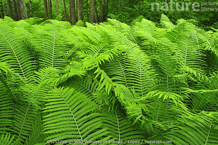 Ferns, Moricsala Strict Nature Reserve, Moricsala Island, Lake Usma, Latvia, June 2009, BALTIC,DIEGO L�PEZ,EUROPE,GREEN,LATVIA,LEAVES,PLANTS,POLYPODIOPSIDA,PTERIDOPHYTES,RESERVE,WWE, Wild Wonders of Europe / López
