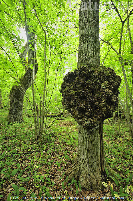 Growth on a tree trunk, Moricsala Strict Nature Reserve, Moricsala Island, Lake Usma, Latvia, June 2009, BALTIC,DIEGO L�PEZ,EUROPE,LATVIA,RESERVE,TREES,TRUNKS,VERTICAL,WOODLANDS,WWE,PLANTS, Wild Wonders of Europe / López