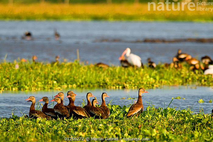 Black bellied whistling ducks (Dendrocygna autumnalis) Palo Verde National Park, Costa Rica  ,  BIRDS,CENTRAL AMERICA,COSTA RICA,GROUPS,NP,RESERVE,SWAMPS,VERTEBRATES,WATER,WATERFOWL,WHISTLING DUCKS,National Park,Wetlands  ,  Martin Gabriel