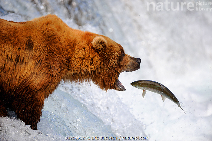 Grizzly bear (Ursus arctos horribilis) catching salmon in Brooks river, Katmai National Park, Alaska, USA, July, alaska,animal head,animals in the wild,BEARS,BEHAVIOUR,Brooks River,brown bear,CARNIVORES,CATALOGUE2,catching,close up,FEEDING,FISH,FISHING,food chain,HUNTING,JUMPING,Katmai National Park,MAMMALS,Nobody,NORTH AMERICA,NP,open mouth,outdoors,PREDATION,preparation,RESERVE,river,RIVERS,SALMON,side view,skill,survival,two animals,USA,VERTEBRATES,WATER,WATERFALLS,WILDLIFE,National Park,,Skill, Efficiency,, Eric Baccega
