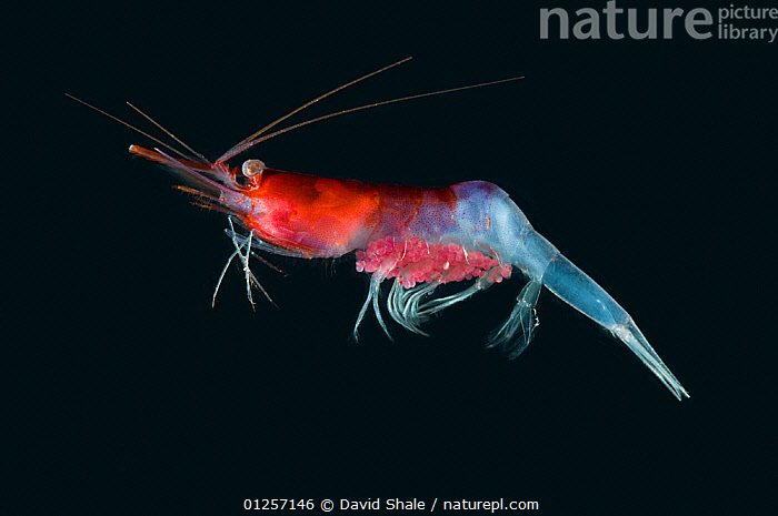 Decapod {Systellaspis sp} from midwater catch 195-498m, Mid-Atlantic Ridge, North Atlantic Ocean  ,  ATLANTIC,COLOURFUL,COOK,CRUSTACEANS,DECAPODS,DEEPSEA,DEEP SEA,INVERTEBRATES,JAMES,MARINE,RED,TEMPERATE,UNDERWATER,core collection xtwox  ,  David Shale