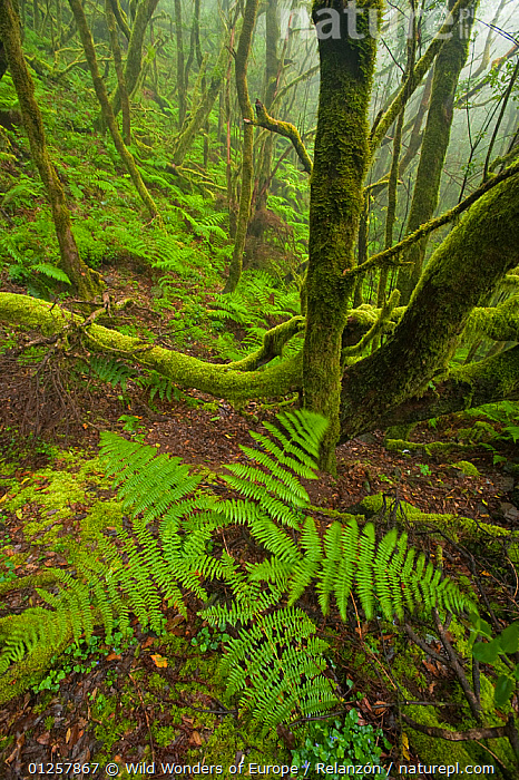 Laurisilva forest, Laurus azorica among other trees in Garajonay National Park, La Gomera, Canary Islands, Spain, May 2009  ,  ATLANTIC ISLANDS,CANARIES,EUROPE,FERNS,I�AKI RELANZ�N,LANDSCAPES,LAUREL,LAURELS,LAURISILVA,MOSS,NP,PLANTS,RESERVE,SPAIN,SUPTROPICAL,TREES,VERTICAL,WOODLANDS,WWE,National Park  ,  Wild Wonders of Europe / Relanzón