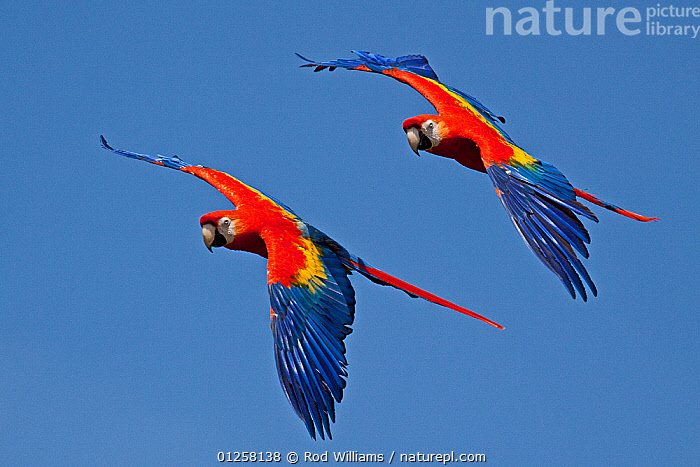 Scarlet macaws (Ara macao) in flight, captive, from Central and South America  ,  BEHAVIOUR,BIRDS,BLUE,COLOURFUL,CUTOUT,FLYING,MACAWS,PARROTS,RED,TWO,VERTEBRATES  ,  Rod Williams