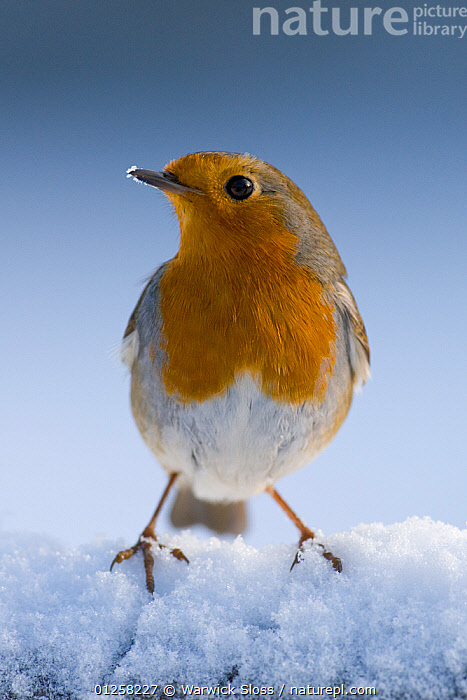 Robin (Erithacus rubecula) in snow, winter, Somerset, UK Not available for ringtone/wallpaper use., animal head,BIRDS,CATALOGUE2,chats,close up,CUTE,EUROPE,FEET,hopeful,looking away,Nobody,one animal,outdoors,plumage,PORTRAITS,SNOW,Somerset,STANDING,UK,VERTEBRATES,VERTICAL,WINTER,United Kingdom,RINGTONE, Warwick Sloss