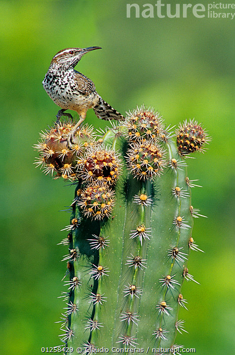Cactus wren (Campylorhynchus brunneicapillus) feeding on Pitaya cactus fruit (Stenocereus griseus) Jaumave desert, northeast Mexico, May  ,  BIRDS,CACTI,CENTRAL AMERICA,DESERTS,MEXICO,VERTEBRATES,VERTICAL,WRENS,Plants  ,  Claudio Contreras