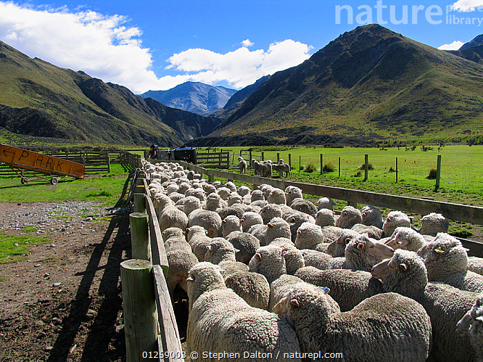 Merino sheep in pen, Otago, South Island, New Zealand, AGRICULTURE,animal enclosure,ARTIODACTYLA,BOVIDS,CATALOGUE2,cloudy,CROWDED,farming,flock of sheep,FLOCKS,group of animals,GROUPS,hill,LANDSCAPES,large group of animals,LIVESTOCK,MAMMALS,Merino Sheep,new zealand,NEW ZEALAND,Nobody,Otago,outdoors,perspective,rural,shearing,SHEEP,sheep pen,SKY,South Island,valley,VERTEBRATES,Goats,Antelopes, Stephen Dalton