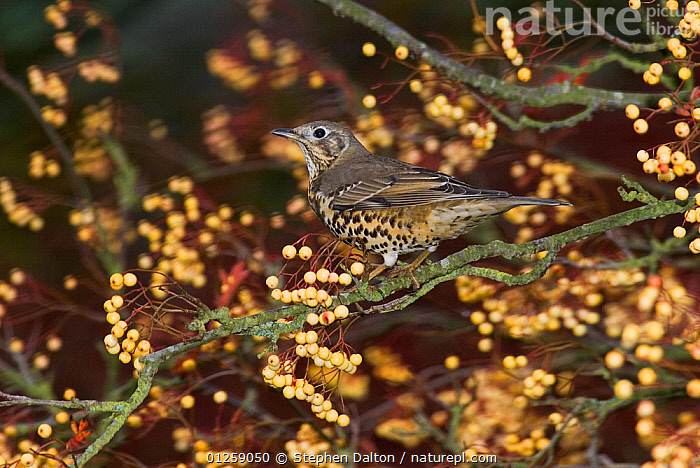 Mistle thrush {Turdus viscivorus} perched amongst berries, UK  ,  BERRIES,BIRDS,EUROPE,THRUSHES,UK,VERTEBRATES,WINTER, United Kingdom  ,  Stephen Dalton
