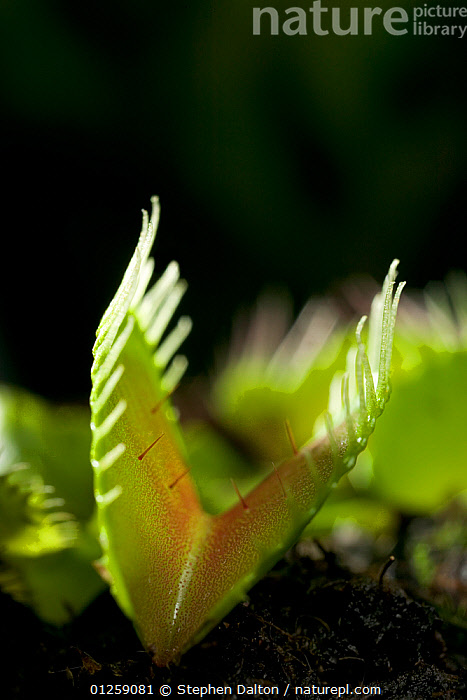 Venus flytrap {Dionaea muscipula} showing trigger hairs for catching flies,  ,  carnivorous,carnivorous plant,CATALOGUE2,CLOSE UPS,DICOTYLEDONS,DROSERACEAE,focus on foreground,GREEN,green colour,nature,Nobody,one object,outdoors,plant,PLANTS,selective focus,trigger hair,VERTICAL  ,  Stephen Dalton