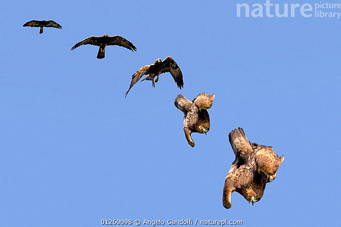 Golden Eagle (Aquila chrysaetos) swooping. The sequence of folding wings to gain speed. Canyon del Ebro y Rudron, Castilla y Leon, Spain. COMPOSITE IMAGE.  ,  ACTION,BEHAVIOUR,BIRDS,BIRDS OF PREY,CASTILE AND LE�N,CUTOUT,DIGITAL COMPOSITE,EAGLES,EUROPE,FLYING,HUNTING,SPAIN,VERTEBRATES  ,  Angelo Gandolfi
