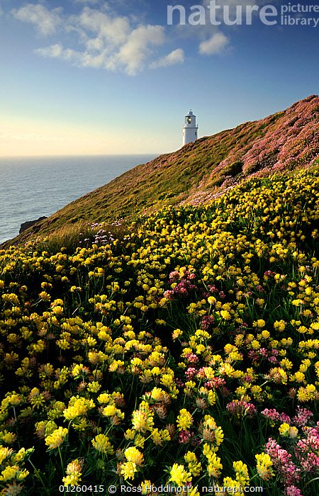 Kidney vetch {Anthyllis vulneraria} flowering on headland with Trevose Lighthouse in the distance, nr Padstow, Cornwall, UK. May 2009.  ,  COASTS,EUROPE,FLOWERS,LANDSCAPES,LIGHTHOUSES,UK,VERTICAL,YELLOW,ENGLAND,BUILDINGS , United Kingdom,core collection xtwox  ,  Ross Hoddinott