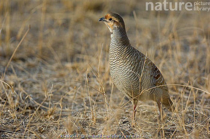Indian grey francolin (Francolinus pondicerianus) Rajasthan, India, ASIA,BIRDS,CAMOUFLAGE,GALLIFORMES,GAME BIRDS,INDIA,PARTRIDGE,VERTEBRATES, Bernard Castelein