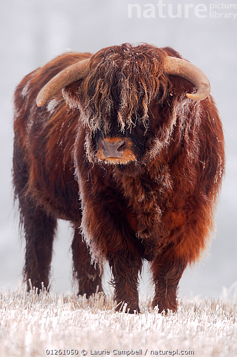 Highland Bull (Bos taurus) in freezing fog,