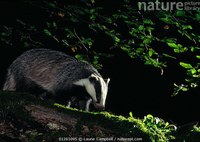 Badger (Meles meles) adult investigating log under beech tree, Berwickshire, Scotland, UK, July, BADGERS,BEHAVIOUR,CARNIVORES,EUROPE,FEEDING,FORAGING,MAMMALS,MUSTELIDS,NIGHT,NOCTURNAL,SCOTLAND,UK,VERTEBRATES, United Kingdom, Laurie Campbell