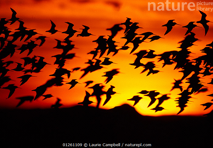 Bar-tailed godwits (Limosa lapponica) silhouette of flock in flight, sunset, Firth of Forth, Scotland, UK, November  ,  ATMOSPHERIC,BIRDS,EUROPE,FLOCKS,FLYING,GODWITS,GROUPS,ORANGE,SCOTLAND,SILHOUETTES,SUN,SUNSET,UK,VERTEBRATES,WADERS, United Kingdom  ,  Laurie Campbell