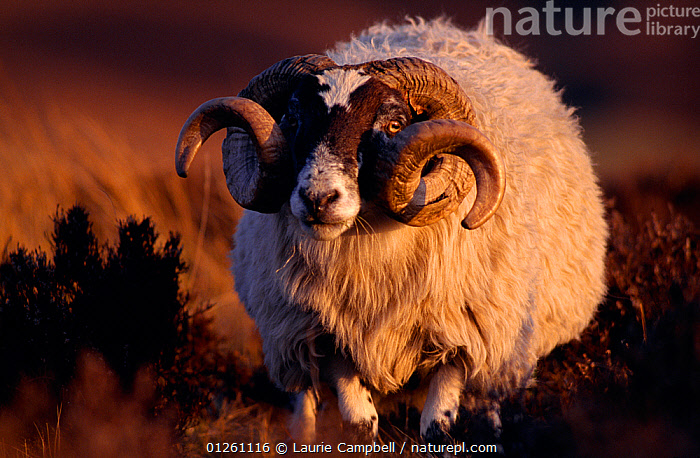 Nature Picture Library Black Faced Sheep Ovis Aries