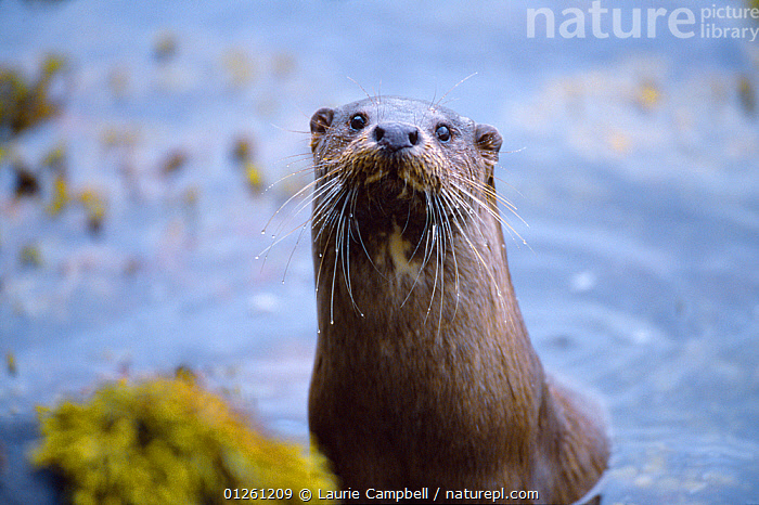 Female River otter (Lutra lutra) on sea loch, Torridon, Wester Ross, Scotland, July, CARNIVORES,COASTS,EUROPE,MAMMALS,MUSTELIDS,OTTERS,PORTRAITS,SCOTLAND,UK,VERTEBRATES,VERTICAL, United Kingdom, Laurie Campbell