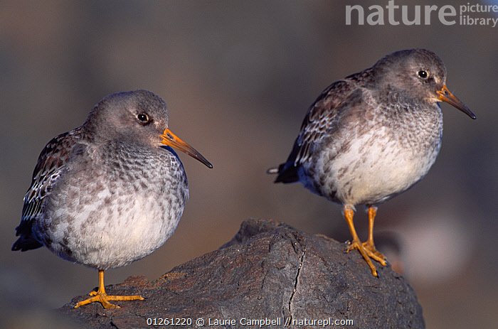 Purple Sandpipers (Calidris maritima) resting at high tide, North Northumberland, England, November, BIRDS,COASTS,EUROPE,SANDPIPERS,TWO,UK,VERTEBRATES,WADERS, United Kingdom, Laurie Campbell