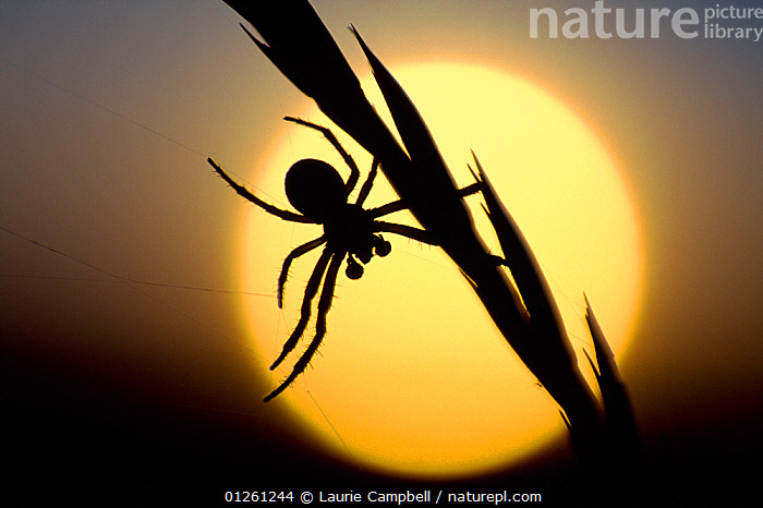 Silhouette of spider at sunset, Berwickshire, Scotland, August  ,  ARACHNIDA,ARACHNIDS,ARTHROPODS,EUROPE,INVERTEBRATES,LEGS,SCOTLAND,SILHOUETTES,SPIDERS AND SCORPIONS,SUN,SUNSET,UK, United Kingdom  ,  Laurie Campbell