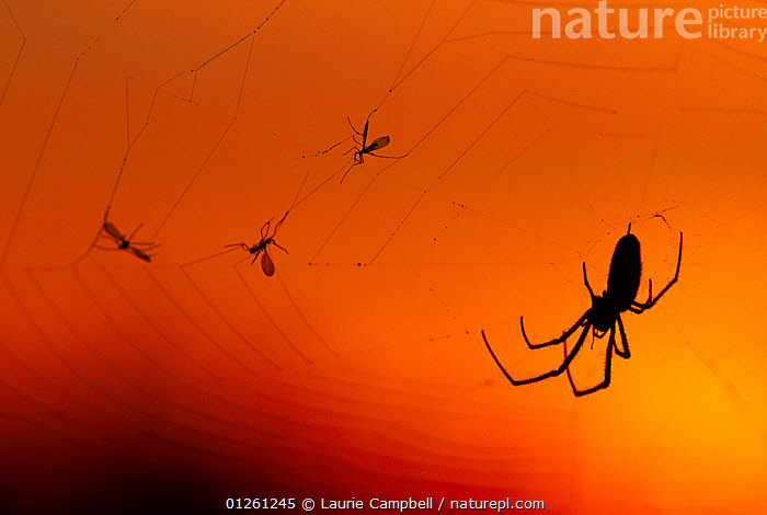 Silhouette of spider on web at sunset, Berwickshire, Scotland, August  ,  ARACHNIDS,ARTHROPODS,EUROPE,FLIES,GOLDEN,INSECTS,INVERTEBRATES,ORANGE,SCOTLAND,SPIDERS AND SCORPIONS,SPIDER WEBS,UK, United Kingdom  ,  Laurie Campbell