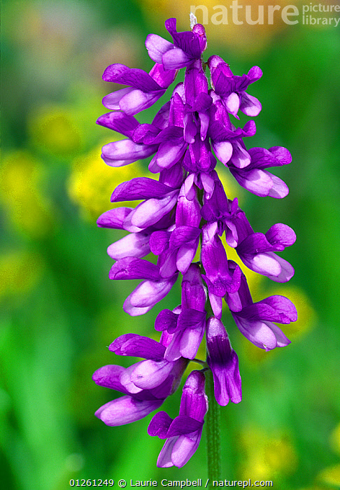 Tufted Vetch (Vicia cracca) in hedgerow, Berwickshire, Scotland, June  ,  DICOTYLEDONS,EUROPE,FABACEAE,FLOWERS,LEGUME,PLANTS,PURPLE,SCOTLAND,UK,VERTICAL, United Kingdom  ,  Laurie Campbell