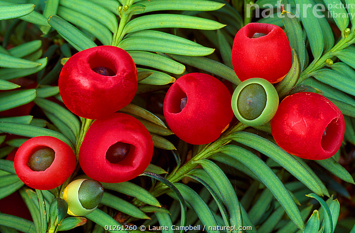 Yew berries (Taxus baccata) Berwickshire, Scotland, September  ,  BERRIES,CONIFERS,EUROPE,FRUIT,GREEN,GYMNOSPERMS,PLANTS,POISONOUS,RED,SCOTLAND,TAXACEAE,TREES,UK, United Kingdom  ,  Laurie Campbell