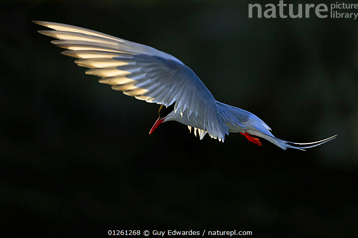 Arctic Tern (Sterna paradisaea) in flight over nesting colony, Isle of May, Firth of Forth, Fife, Scotland  ,  BIRDS,EUROPE,FEATHERS,FLYING,SEABIRDS,TERNS,UK,VERTEBRATES,WINGS, United Kingdom  ,  Guy Edwardes