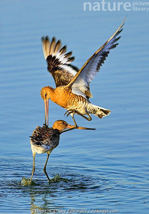 Black-tailed godwits (Limosa limosa) fighting, Lodmoor RSPB reserve, Weymouth, Dorset, England, August, BEHAVIOUR,BIRDS,EUROPE,FIGHTING,GODWITS,RESERVE,two,UK,VERTEBRATES,VERTICAL,WADERS,WINGS,Aggression, United Kingdom, Guy Edwardes