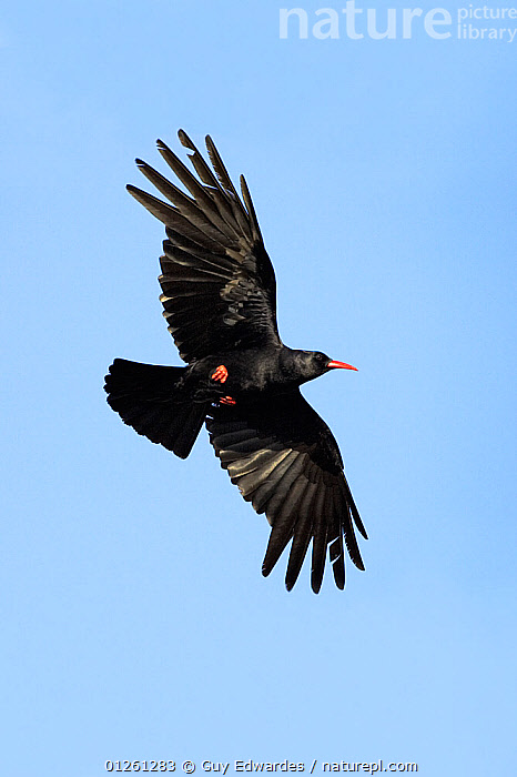 Chough (Pyrrhocorax pyrrhocorax) in flight, Great Saltee, County Wexford, Ireland, June  ,  BIRDS,CHOUGHS,CUTOUT,EUROPE,FEATHERS,FLYING,IRELAND,LOW ANGLE SHOT,VERTEBRATES,VERTICAL,WINGS  ,  Guy Edwardes