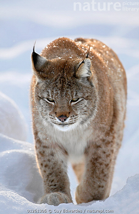 Eurasian lynx (Lynx lynx) in snow, controlled situation, Ranua, Finland, February  ,  CARNIVORES,CATS,MAMMALS,PORTRAITS,SNOW,VERTEBRATES,VERTICAL,WALKING,Scandinavia, Europe  ,  Guy Edwardes
