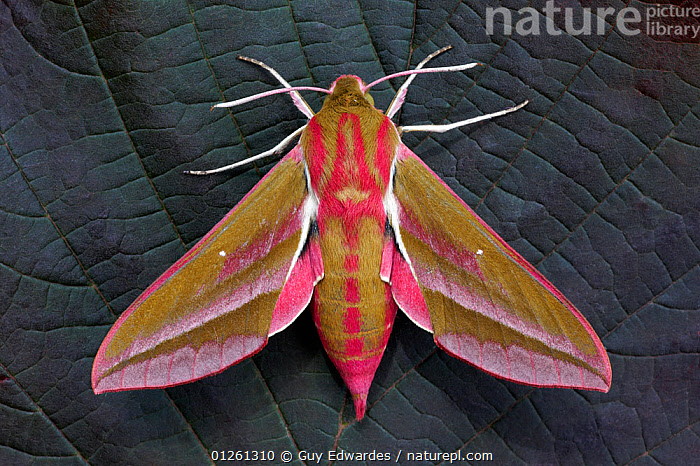 Elephant hawkmoth (Deilephila elpenor) on leaf, Uplyme, Devon, England, July  ,  EUROPE,HAWKMOTHS,HIGH ANGLE SHOT,INSECTS,INVERTEBRATES,LEPIDOPTERA,MOTHS,UK,WINGS, United Kingdom,Elephants  ,  Guy Edwardes